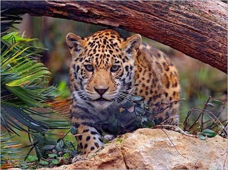 leopardo (1)