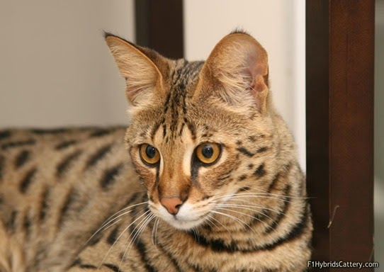 Amazing Pictures of Animals, Photo, Nature, Incredibel, Funny, Zoo,  Savannah cat,  domestic hybrid cat, Alex (23)