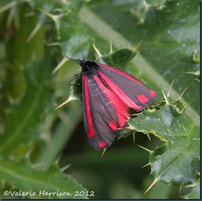 57-Cinnabar-moth