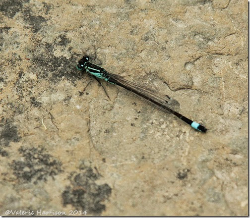 blue-tailed-damselfly-2