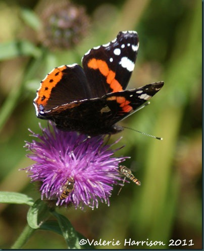19-red-admiral