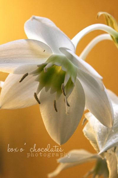 Peruvian Lily2