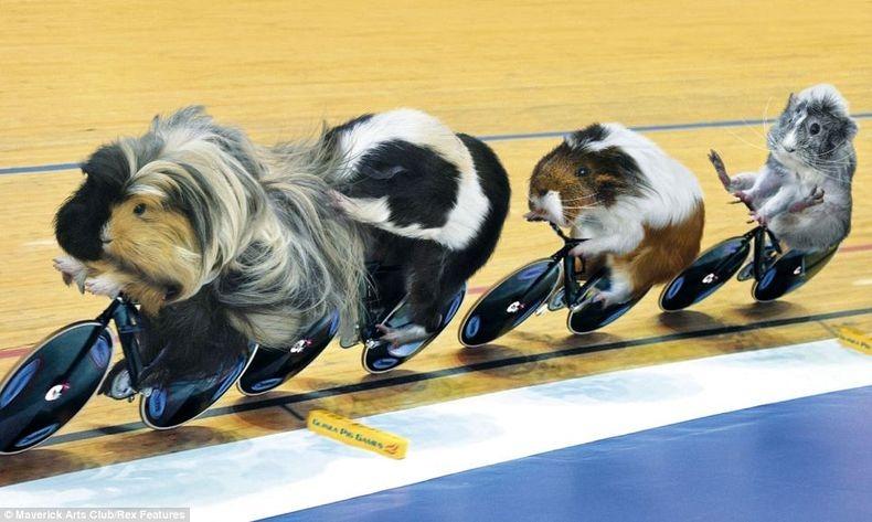 guinea-pig-games-5