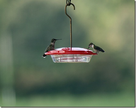Ruby-throated hummingbirds at feeder, birds