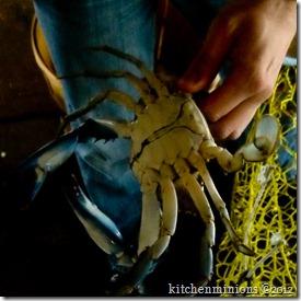 blue crab-12