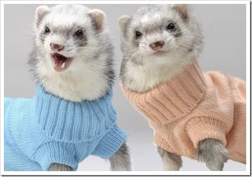Ferrets wearing sweaters