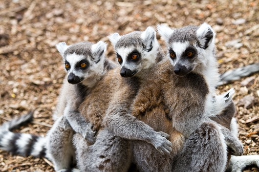 lemurs_three_animals_57924_2560x1700