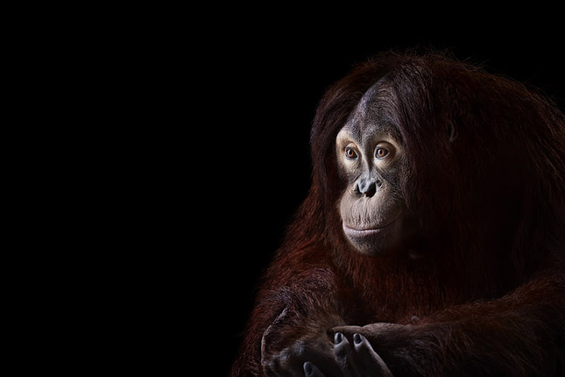 animal-photography-affinity-Brad-Wilson-orangutan-4.jpeg