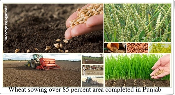 Wheat sowing over 85 percent area completed in Punjab I agrinfobank.com