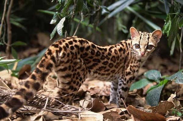 7- Gato-maracajá