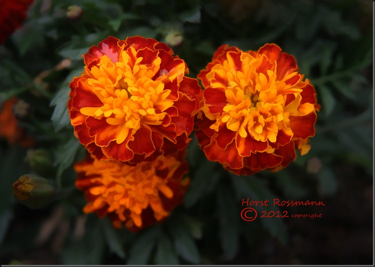My Marigolds painting copy