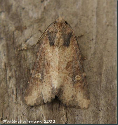 lesser common-rustic