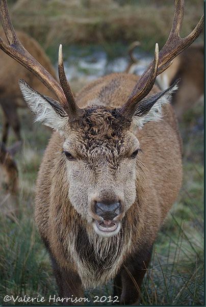 24-red-deer