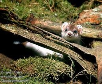 Amazing Pictures of Animals, photo, Nature, exotic, funny, incredibel, Zoo, Stoat, Mustela erminea, Alex (5)