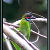 Blue-eared Barbet-02.jpg