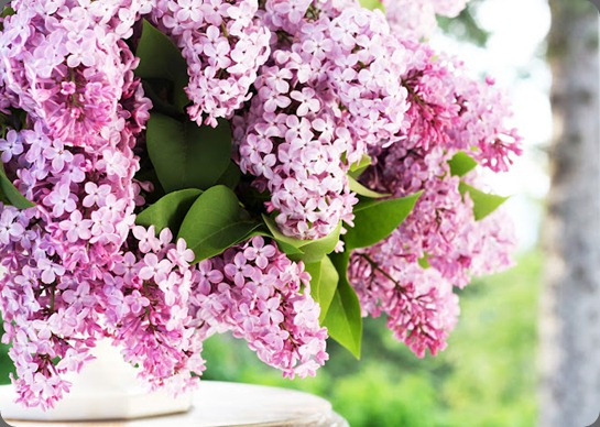 6269 a country farmhouse blogspot  lilacs