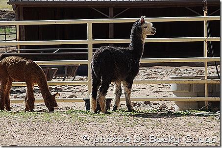 10-05-11 alpacas near Mora 07