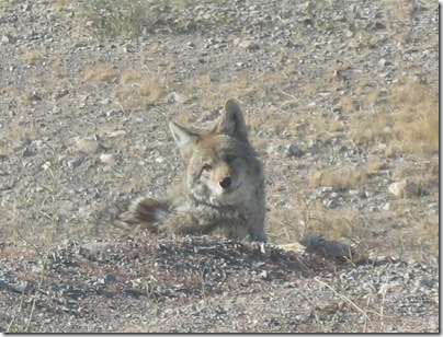 2012-03-10 Lake Mead Coyote Site (9)