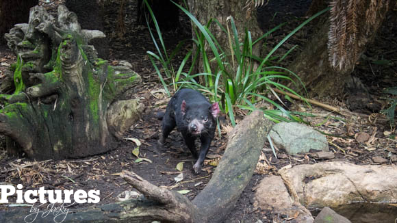 tasmanian-devil-perth-pictures-by-jacky