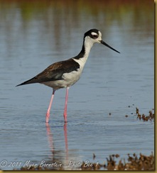 Black-necked Stilt  Black-necked Stilt_ROT4304   NIKON D3S June 04, 2011