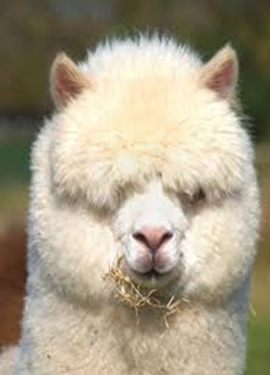 Amazing Pictures of Animals, photo, Nature exotic, funny, incredibel, Zoo, Vicugna pacos, Alpaca, Alex (34)