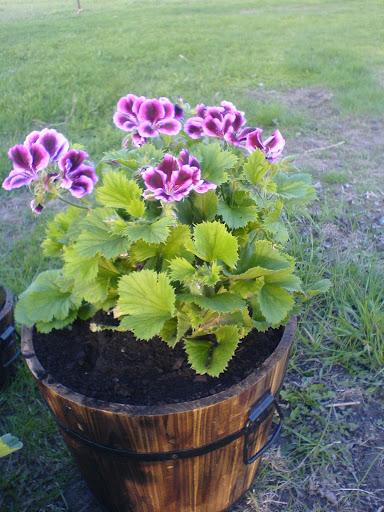 how to keep martha washington geraniums blooming