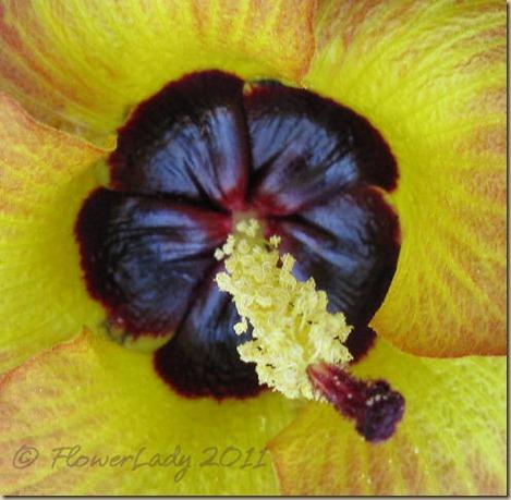 07-13-sea-hibiscus2