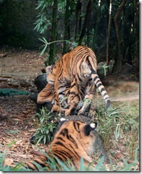 Tiger family, Taronga Zoo