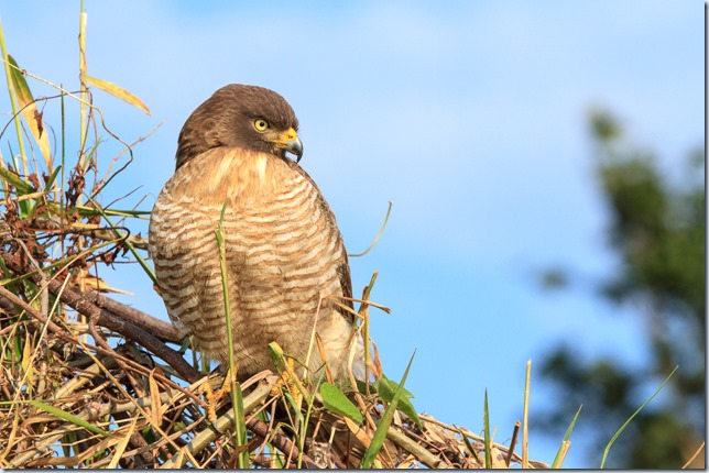 Roadside_Hawk-1