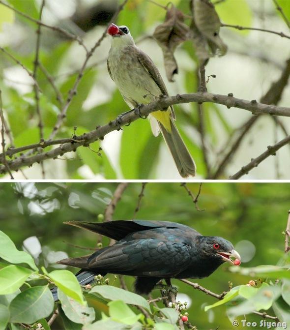 Syzgium polyanthum-bird