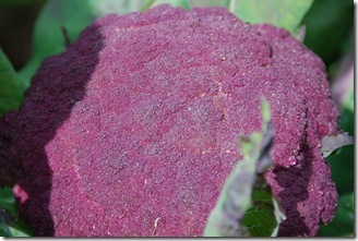 Brócolos roxos  DSC_0472DSC_048412