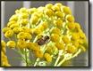 Tansy bee 2