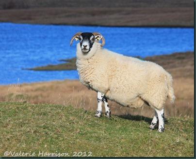 6-sheep