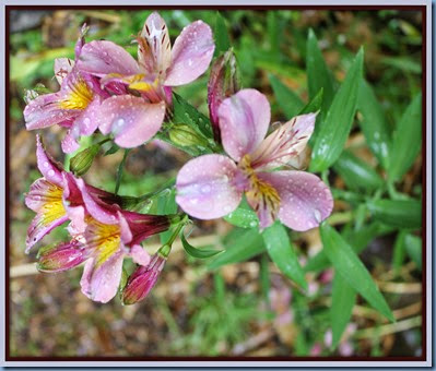 raindrops on Alstromeria flowers