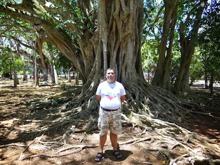 Obiective turistice Mauritius: Banyan tree in gradina botanica