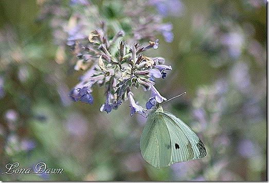 EJC_SiberianCatmint_Butterfly
