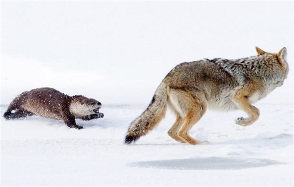 otter-wolf_2023579i