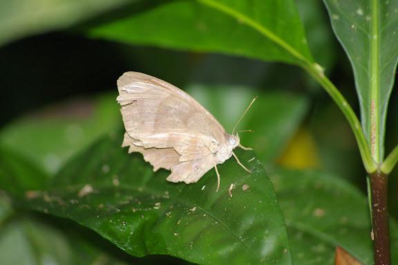 Probablement Taygetomorpha celia CRAMER, 1779. Caçandoca (Ubatuba, SP), 23 février 2011. Photo : J.-M. Gayman