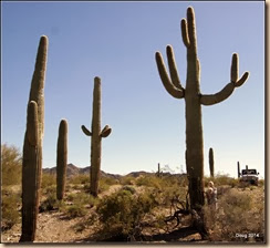 Saguaros are big!
