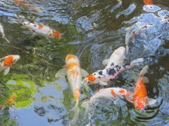 Florida 3.2013 Marriott Cypress Harbour koi1
