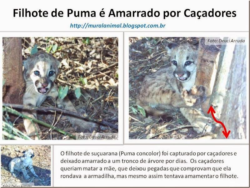 Filhote de Puma é Amarrado por Caçadores