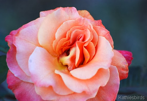 12. rose-kab