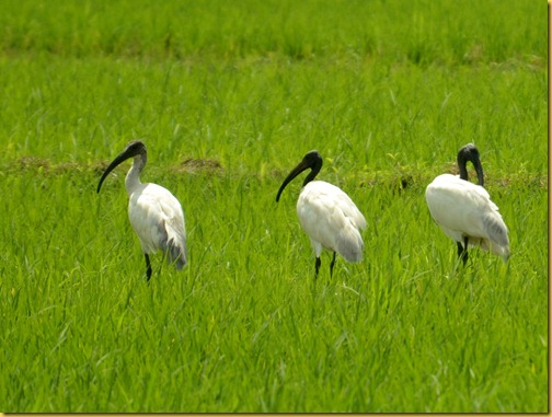 black headed ibis photos