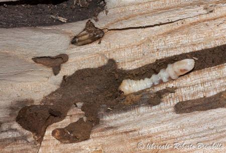14-2014-02-20_larva Aegosoma scabricorne_Varenna (24)