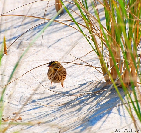 5. Savanah sparrow-kab