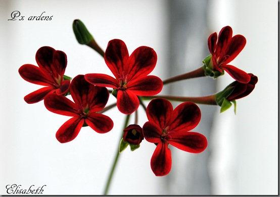 Pelargonium aug-11 030