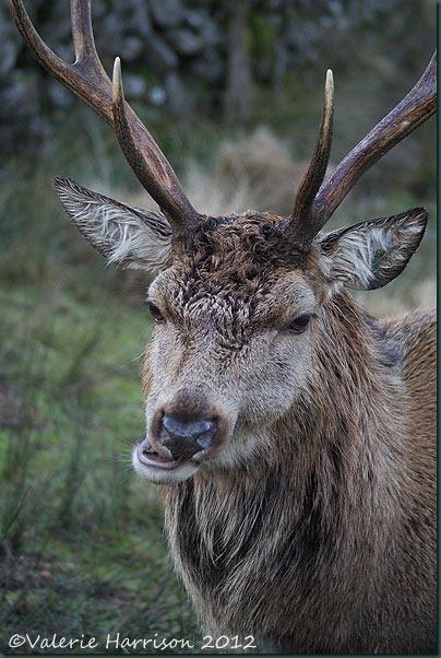 18-red-deer