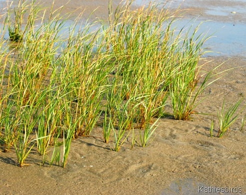 5. beach grass-kab