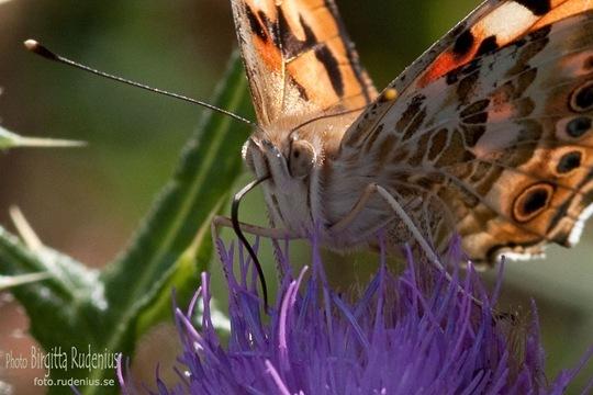 butterfly_20110731_tistel1a