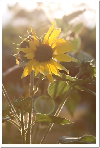 Sundrenched-sunflower